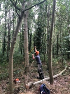 Tools of the trade - levering away at a tall Ash during 1st Thinnings_